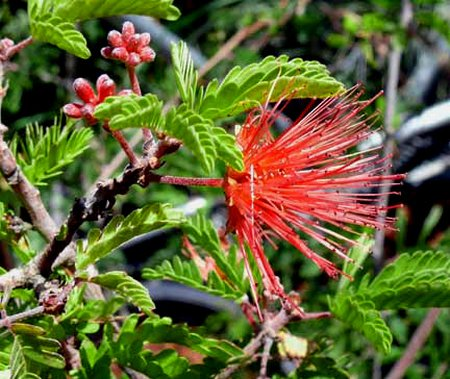 calliandra-californica