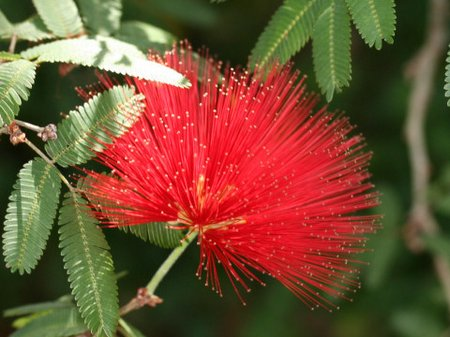 Calliandra tweedyi