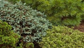 Conifers For Every Size Garden