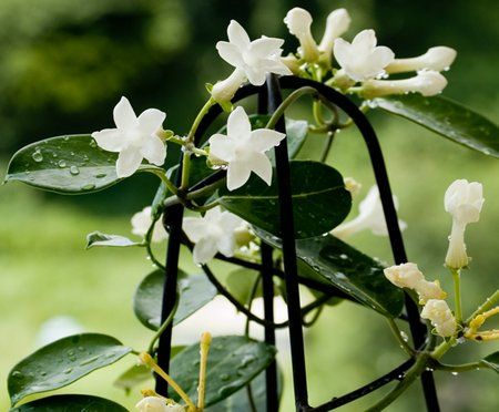 stephanotis2