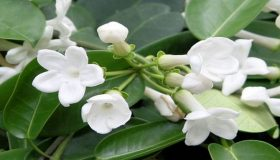 Stephanotis – Symbol Of Marital Happiness