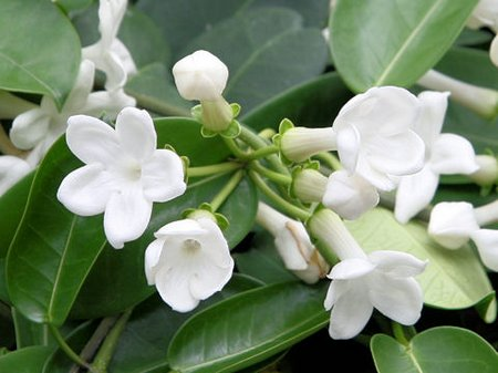 stephanotis5