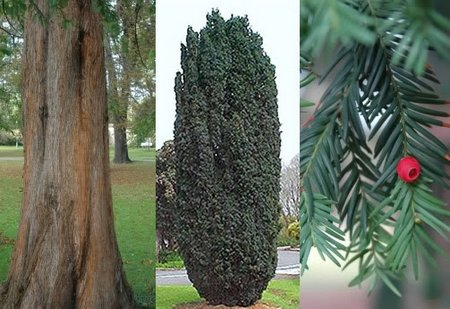 Taxus-baccata1