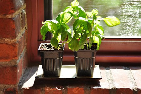 Grow basil indoors during the winter for Indoor gardening during winter