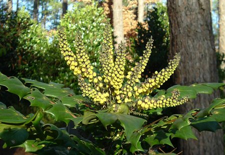 Mahonia mountain grape holly or oregon grape as it is commonly known has glossy green leaves and racemes of yellow flowers in late winter to early spring mightylinksfo