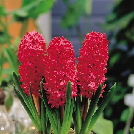 hyacinth-jan-bos-red