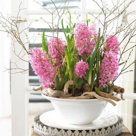 indoor-hyacinth
