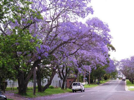 Most Jacarandas Are Size Trees And Not For Small Properties Occasionally Certain Varieties Available That Smaller Can Be Enjoyed In