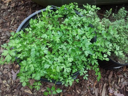 parsley-container