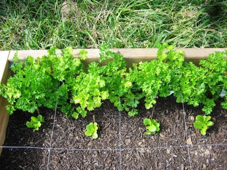 parsley-planting