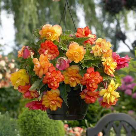 how to grow begonias from corms