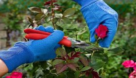 How And When To Prune Roses?