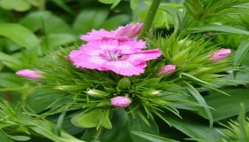 Sweet William Plant