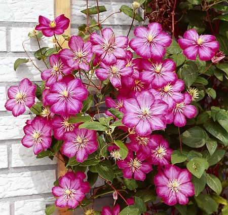 Climbing plants on the garden walls clematis mightylinksfo