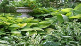 Enjoy The Rich Foliage Of Hostas