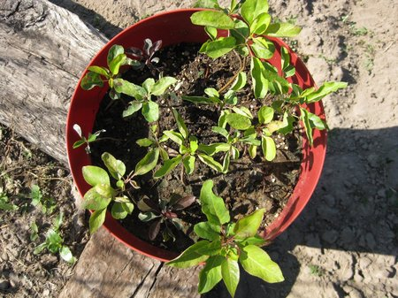 Growing A Pear Tree From Seed