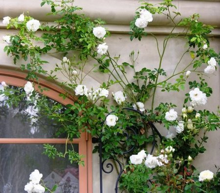 climbing plants on the garden walls