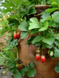 strawberries-barrel1