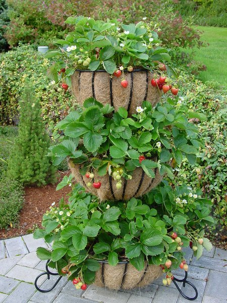 strawberries-containers