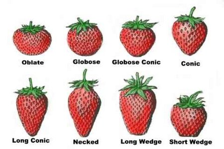 strawberry-varieties