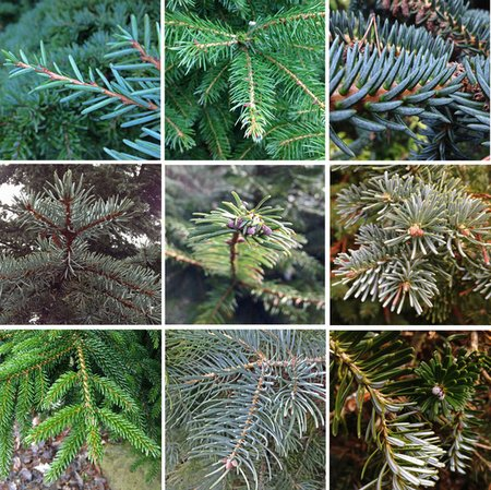 conifer-colors