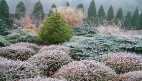 Conifers In The Winter Garden