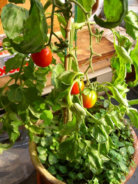 indoor-tomatoes1