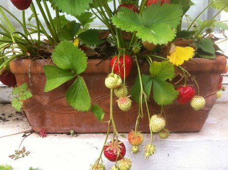 window-box-strawberries