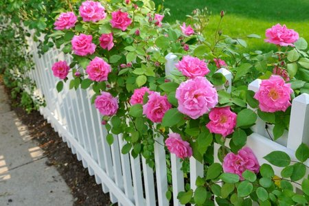 roses'fence