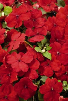 impatiens-walleriana