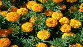 Marigolds – Planting And Care