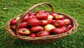 Harvesting And Storing Apples