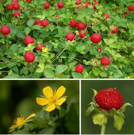 indian-strawberry2