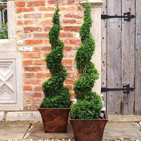 buxus-container
