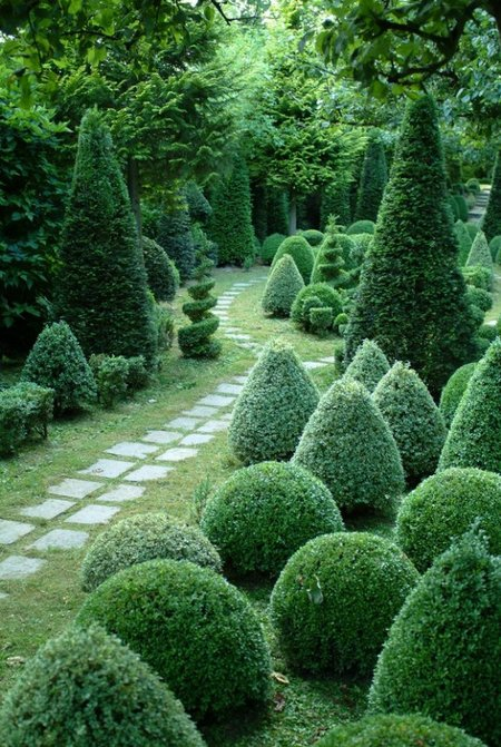 buxus-shrubs