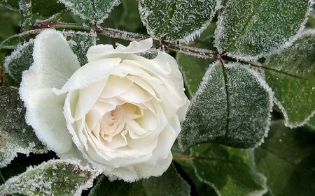 frost-roses