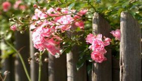 Care For Your Rose Garden In The Spring