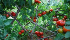 How To Grow Espalier Tomatoes?