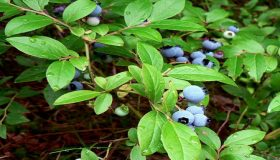 Blueberries In Your Home Garden