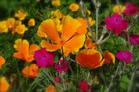 californian-poppies