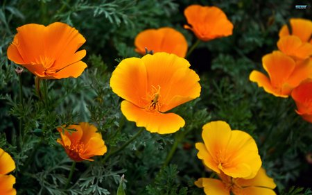 californian-poppies1