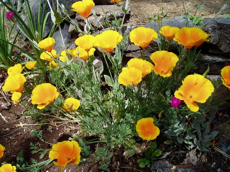 californian-poppies2