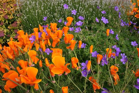californian-poppies3