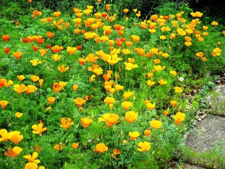californian-poppies4