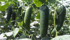 Cucumbers: Must-Have Vegetables In The Garden