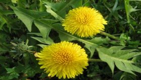 Eliminating Dandelion From Your Lawn