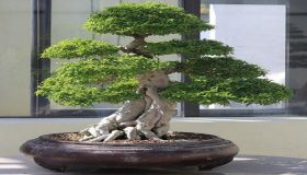 Bonsai Trees: Fertilizing Tips