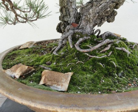 bonsai-tree-fertilizer