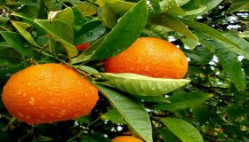 Orange Tree Care