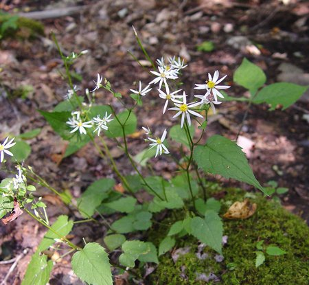 wood aster